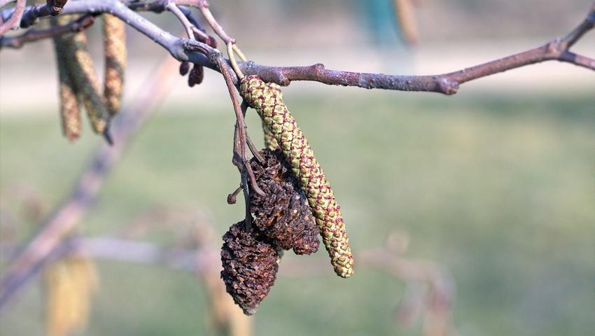 Pyłki olchy - co pyli w marcu