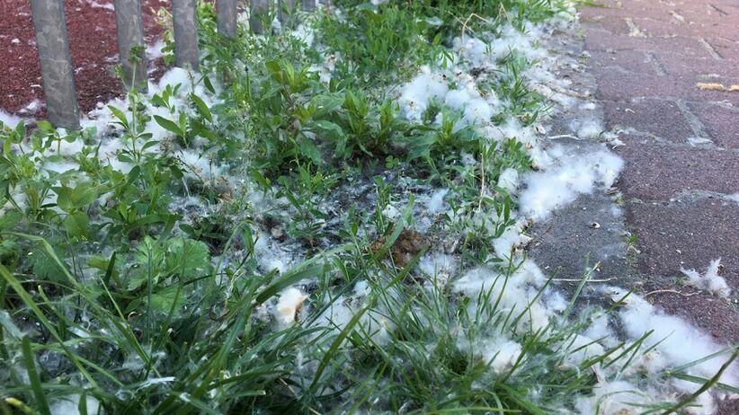 Biały puch topoli - alergia