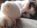 Enfermedad por arañazo de gato: ¿cómo se manifiesta?