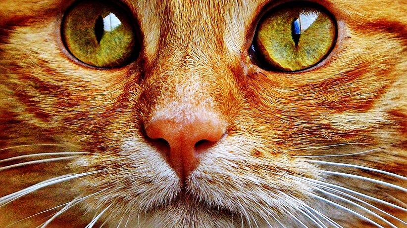 Koty mogą przenosić choroby odkleszczowe? Pierwszy śmiertelny przypadek