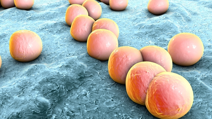 Paciorkowce to kuliste bakterie
