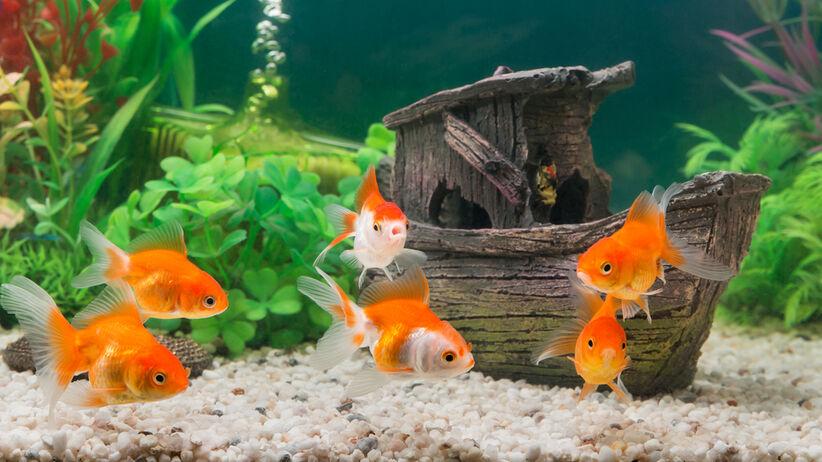 Chlorochina dla rybek