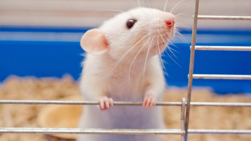 Gorączka szczurza