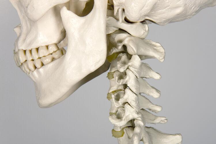 Ile kości ma dorosły człowiek?