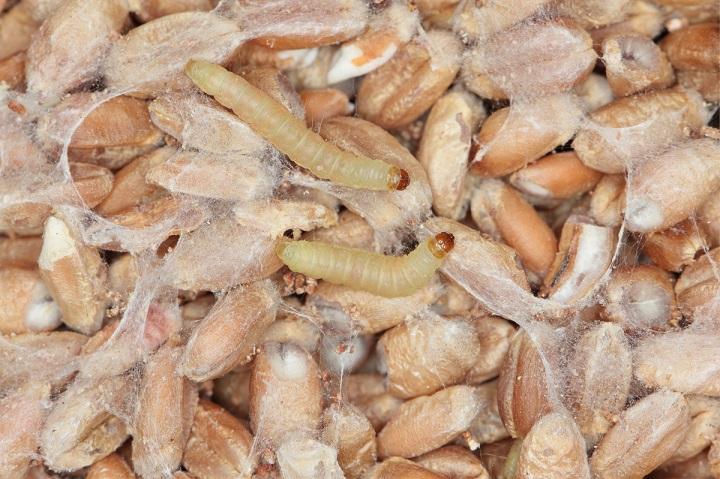 shutterstock_1350815750_larwy mole spozywcze omacnica spichrzanka