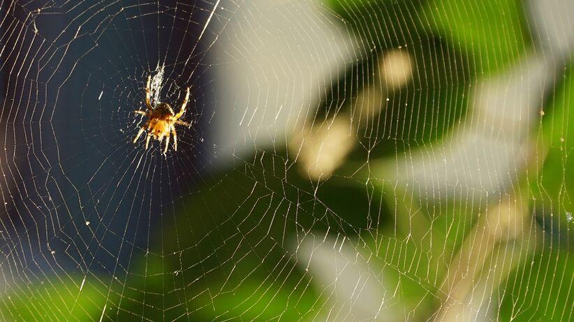 Czy pajęczyna leczy rany?
