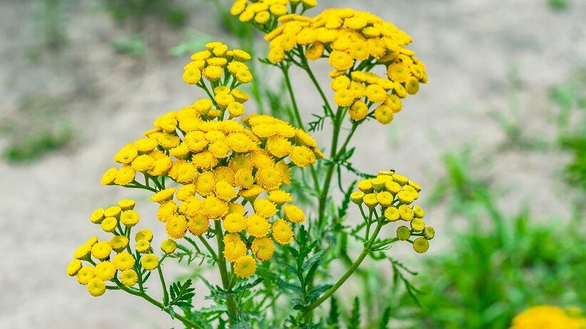 Wrotycz pospolity - skuteczna roślina na wszy, komary i kleszcze
