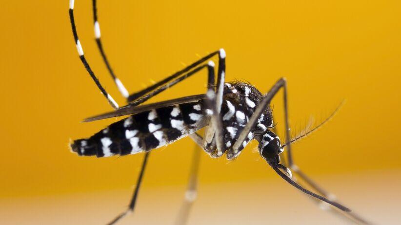 Komar tygrysi - wygląd [zdjęcia]
