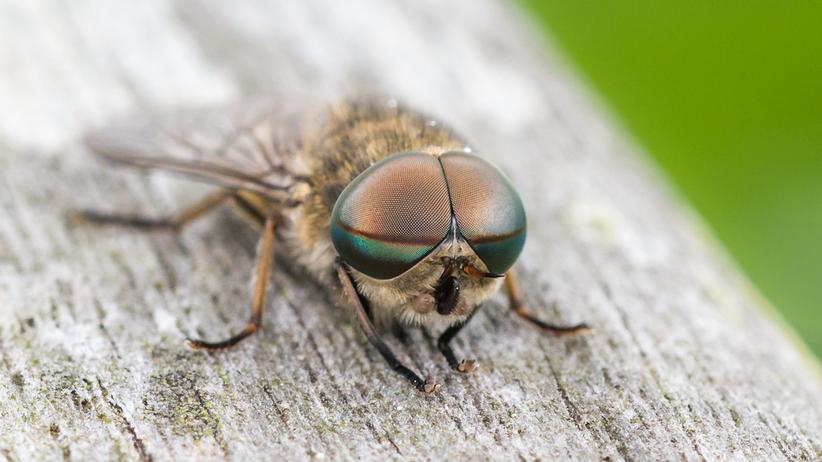Mucha końska boleśnie kąsa, pozostawiajac na skórze obrzęk