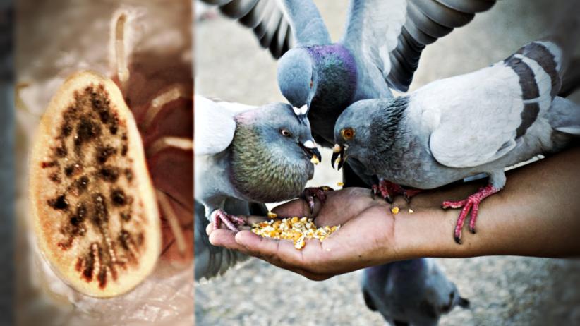 Obrzeżek gołębi (Argas reflexus), kleszcze gołębie, ptasie kleszcze, gołębie groźniejsze niż kleszcze