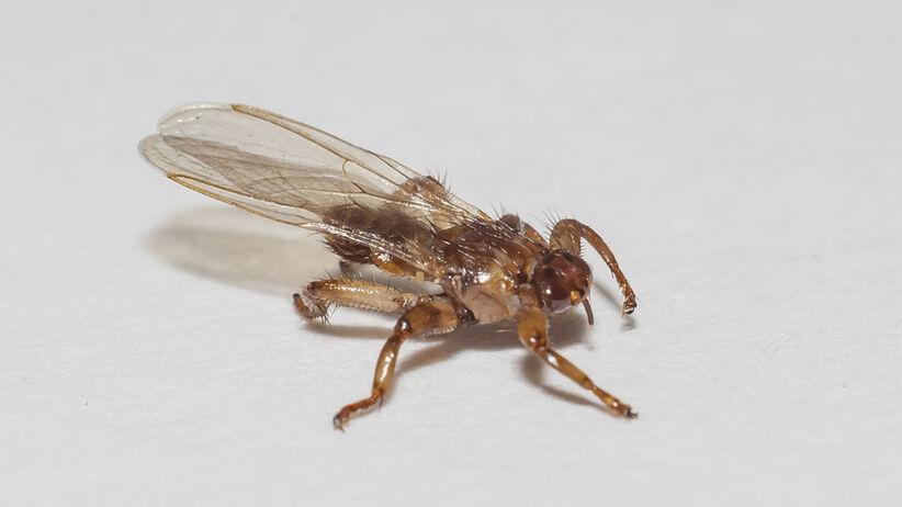 Strzyżaki zwane są latającymi kleszczami, choć tak naprawdę są to muchówki