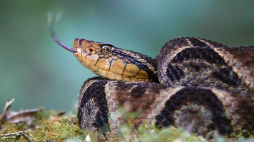 opatrunek z jadu węża