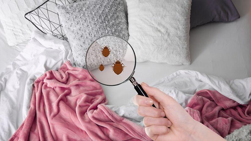 Pluskwa łóżkowa - jak się pozbyć