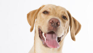 Labrador Denver wspiera polskich medyków w walce z COVID-19