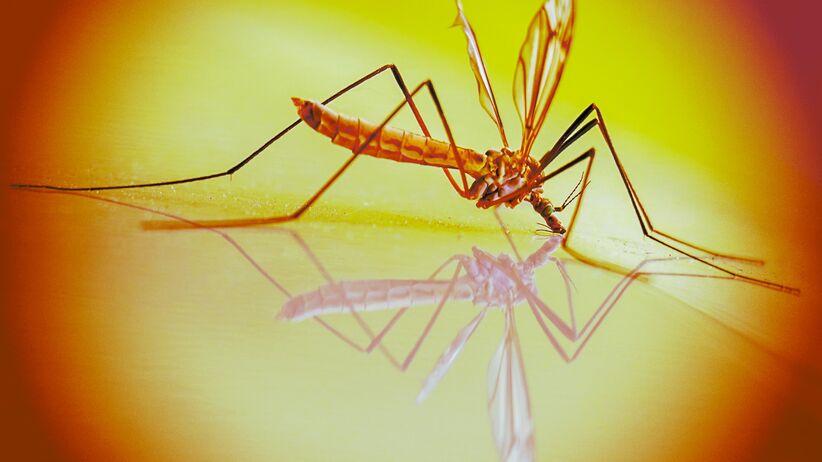 Plaga komarów w Świnoujściu. Chemiczne opryski okazały się nieskuteczne
