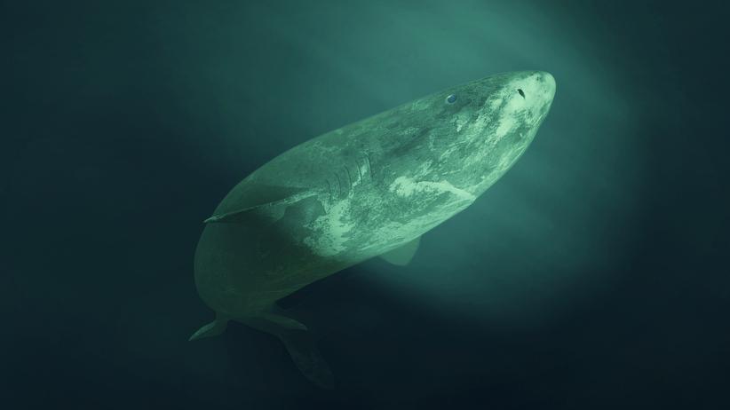 Rekin grenlandzki