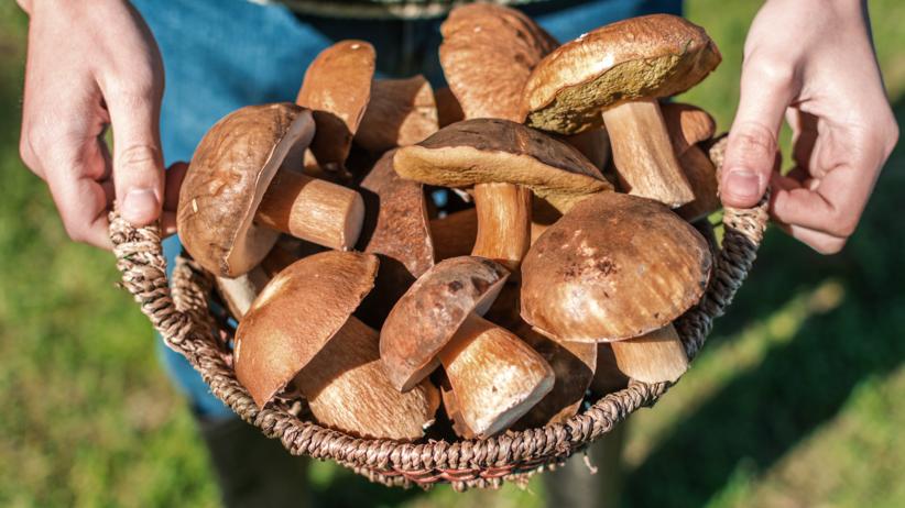 Grzyby, grzybobranie, zatrucia, ostrzeżenia, których grzybów unikać
