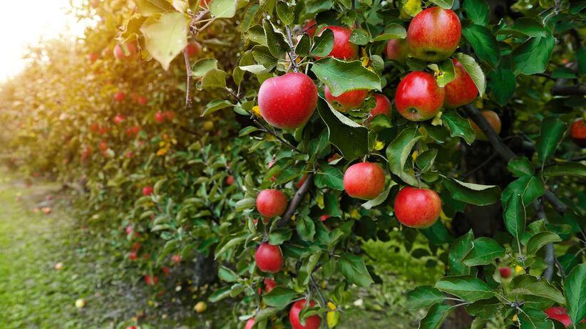 Dlaczego warto jeść codziennie jabłka?