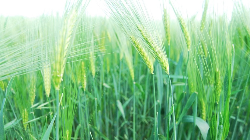 green barley plus sfd