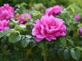 rosa rizada