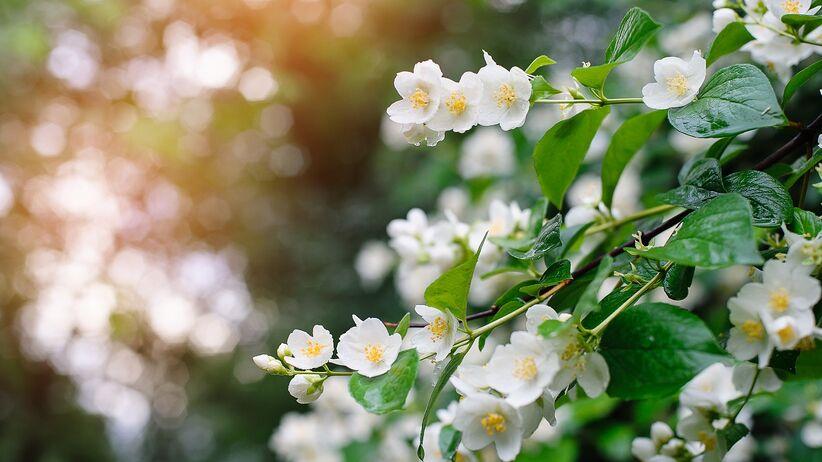 Uspokaja, relaksuje i upiększa... Poznaj właściwości kwiatu jaśminu