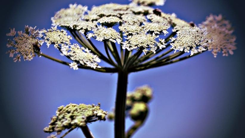 Uwaga na barszcz Sosnowskiego! Niebezpieczną roślinę odkryto koło Olsztyna