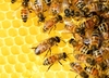 Dlaczego masowo giną pszczoły? Winne są pestycydy