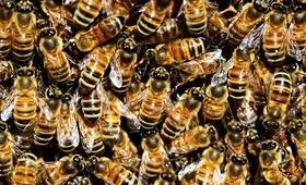 Pszczoły pomogą nam poznać przyczyny autyzmu?
