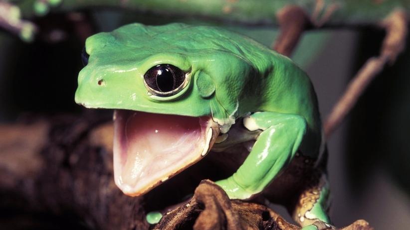 Na czym polega ceremonia kambo i leczenie jadem amazońskiej żaby?