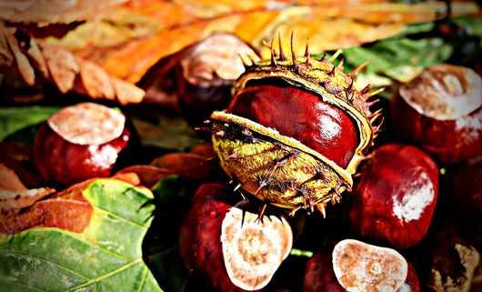 Świeże kasztany działają jak naturalne odpromienniki. Warto je zbierać!