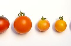 Pomidory - jabłka miłości
