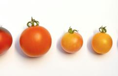 Pomidory, działanie antynowotworowe