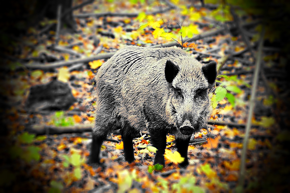 Uwaga na czeskie dziki! Ich mięso może być radioaktywne!