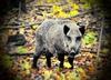 Uwaga na czeskie dziki! Ich mięso może być radioaktywne