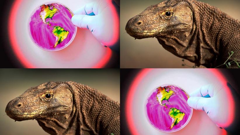 W walce z antybiotykoopornością mogą pomóc... smoki z Komodo