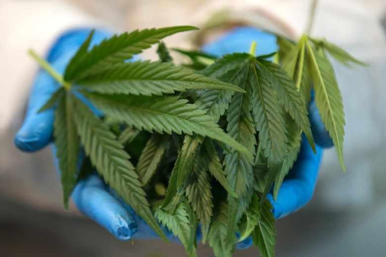 Przelom-w-sprawie-medycznej-marihuany-Resort-zdrowia-chce-madrych-zmian_article