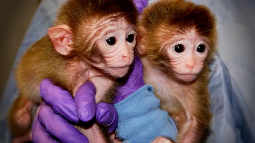 Chińczykom udało się sklonować pierwsze małpy naczelne: dwa makaki!