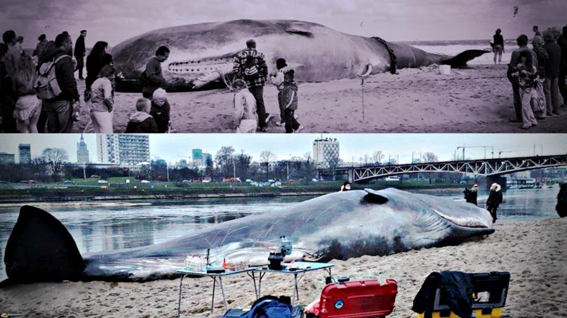 Wieloryb nad Wisłą? Co mu dolega? Wyjątkowa akcja z ważnym przesłaniem