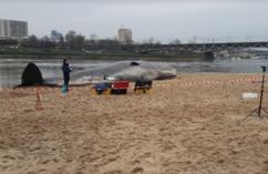 Wieloryb w Wiśle?