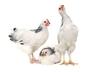 Kurczaki chronią przed malarią. Ich odór może odstraszać komary!