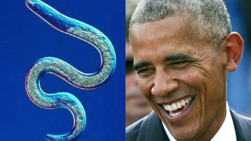 Baractrema obamai - na cześć prezydenta USA nazwano... pasożyta!