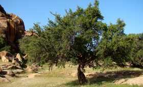 Olej arganowy – płynne złoto z Maroka