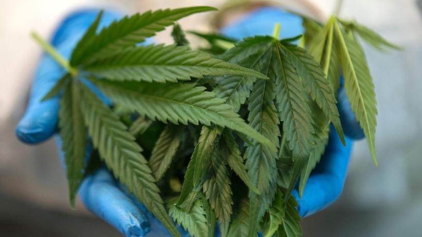 """Przełom w sprawie medycznej marihuany? Resort zdrowia chce """"mądrych zmian"""""""