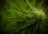Olej z marihuany - lek czy narkotyk?