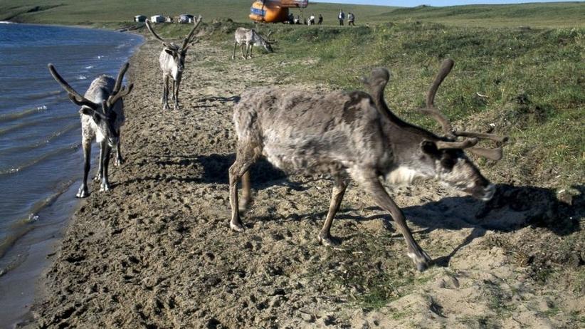 Epidemia wąglika na Syberii zabiła 12-latka i 2,3 tys. reniferów!