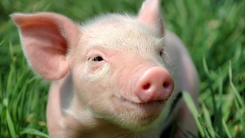 Wkrótce organy do przeszczepów będą hodowane w organizmach świń